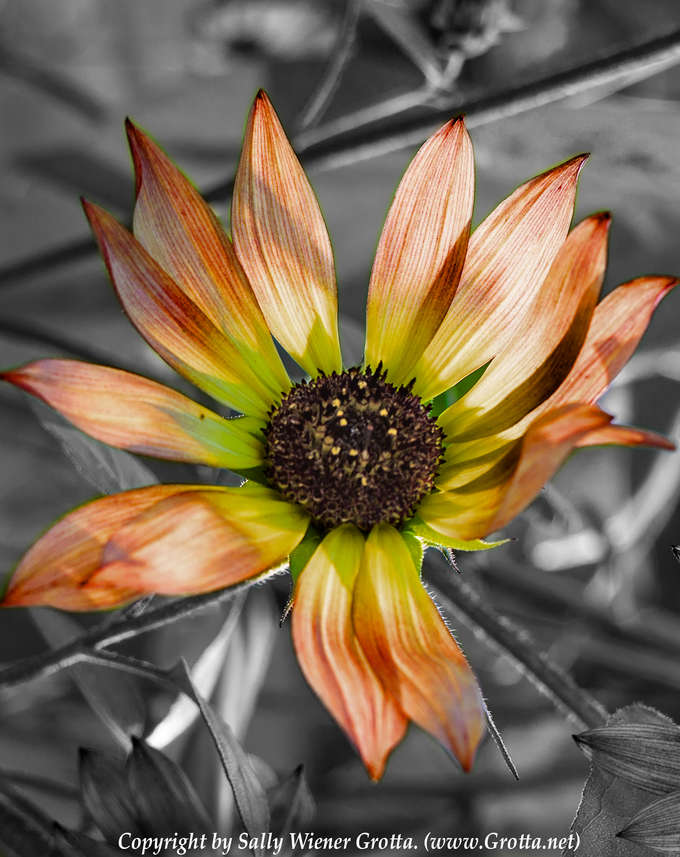 Spreading My Petals Wide by Sally Wiener Grotta