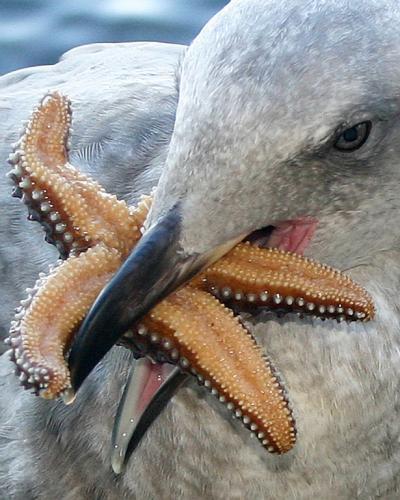 Seagull-with-starfish-for-smugmug-XL (1)