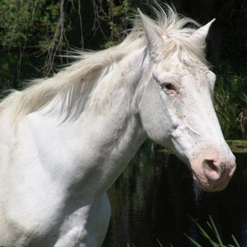 White Horse at Pond