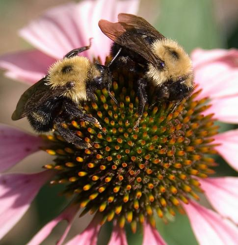 bee-on-cornflower-4-for-upload-XL